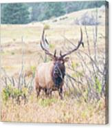 Bull Elk In The Rain Canvas Print