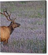 Bull Elk In Velvet Canvas Print