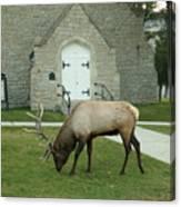 Bull Elk On The Church Lawn Canvas Print