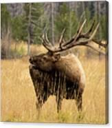 Bull Elk Sideview Canvas Print