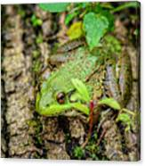 Bull Frog On A Log Canvas Print