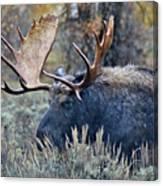 Bull Moose 02 Canvas Print