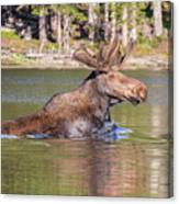 Bull Moose Goes For A Swim Canvas Print