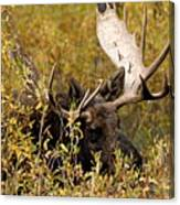 Bull Moose In Hiding Canvas Print