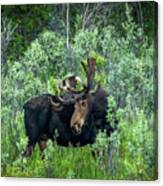Bull Moose In The Bushes Canvas Print