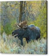 Bull Moose In The Evening Canvas Print