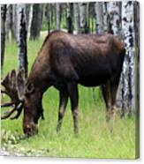 Bull Moose In The Woods  Canvas Print