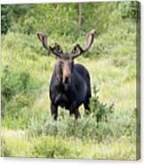 Bull Moose Stands Guard Canvas Print