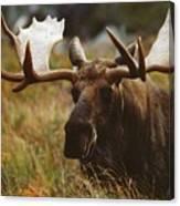 Bull Moose Up Close Canvas Print