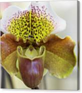 Bulldog Type Paphiopedilum Canvas Print