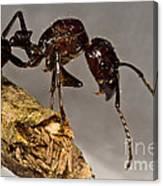 Bullet Ant Canvas Print