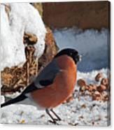 Bullfinch In The Snow Canvas Print