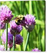 Bumble Bee And Chives Canvas Print