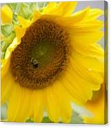 Bumble Bee And The Sunflower Canvas Print
