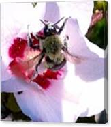 Bumble Bee Making His Escape From Hibiscus Flower Canvas Print