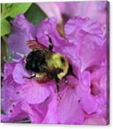 Bumble Bee On Rhododendron Blossoms Canvas Print