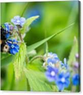 Bumble Bee On Siberian Bugloss Canvas Print