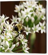 Bumble Bee On Wild Onion Flower Canvas Print