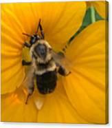 Bumble Bee On Yellow Nasturtium Canvas Print