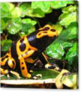 Bumble Bee Poison Frog Canvas Print