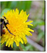 Bumble Bees And Dandelions Canvas Print