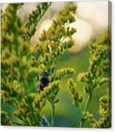 Bumblebee And Canadian Goldenrod 15 Canvas Print