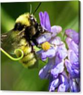 Bumblebee On A Blue Giant Hyssop Canvas Print