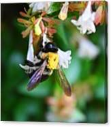 Bumblebee On Abelia Canvas Print