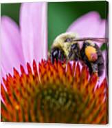 Bumblebee On Coneflower Canvas Print