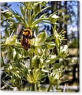 Bumblebee On Elkweed Blossoms Canvas Print