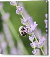 Bumblebee On The Lavender Field 2 Canvas Print