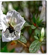 Bumblebee On White Azalea Canvas Print