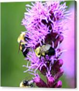 Bumblebees On Liatris Canvas Print