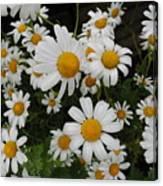Bunch Of Daisy Canvas Print
