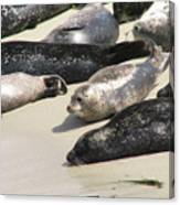 Bunch Of Harbor Seals Resting On A Beach Canvas Print