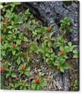 Bunchberry Berries Canvas Print