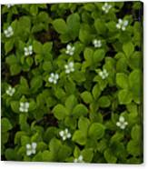 Bunchberry Carpet Canvas Print