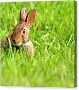 Bunny In Field  Canvas Print