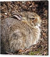Bunny Siesta Canvas Print