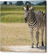 Burchell's Zebra On Grassy Plain Facing Camera Canvas Print