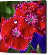 Burgandy Red Dianthus Canvas Print