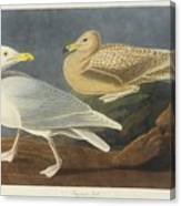 Burgomaster Gull Canvas Print
