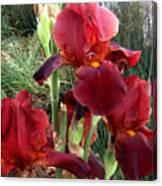 Burgundy Iris Flowers Canvas Print