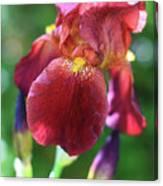 Burgundy Iris Canvas Print