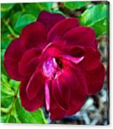 Burgundy Red Rose At Pilgrim Place In Claremont-california  Canvas Print