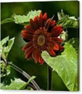 Burgundy Red Sunflower Canvas Print