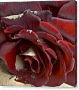 Burgundy Rose Canvas Print
