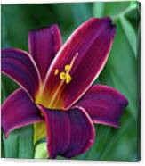 Burgundy Wine Red Daylily Canvas Print