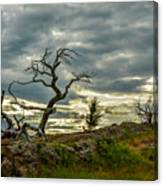 Burmis Tree And Wind Swept Pines Canvas Print