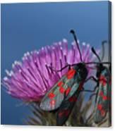 Burnet Moths Canvas Print